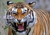 Main thumb bengal tiger wallpaper